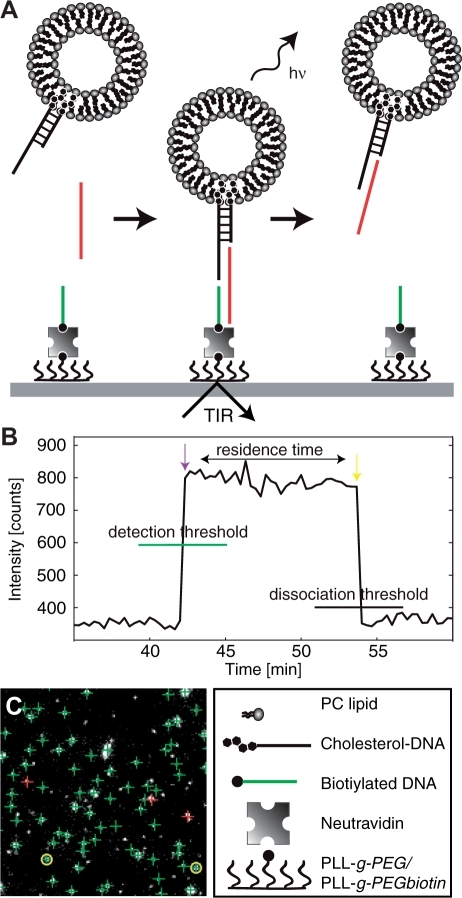 (A) Schematic illustration of the single-molecule sensing template. An unlabeled DNA target mediates the binding of rhodamine-labeled liposomes (Ø ∼100 nm) modified with, on average, one DNA duplex with a single stranded sticky-end (15 bases) to a TIR-illuminated surface modified with single stranded DNA (15 bases). The residence time of the liposomes on the surface is monitored for the kinetic analysis. The silicon dioxide surface is modified by self-assembly of biotinylated copolymer (PLL-g-PEG/PLL-g-PEGbiotin) followed by binding of Neutravidin conjugated to biotinylated single stranded DNA. (B) Time trace of binding and dissociation of a single liposome on the surface. The purple and yellow arrows mark the binding and dissociation event, respectively. (C) Microscopy snapshot of a subsection of the illuminated area during analysis. Green crosses indicate bound liposomes. Yellow rings show liposomes detaching from the surface in the subsequent frame. Purple crosses indicate new liposomes binding in the current frame. Field of view of the subsection is 40 × 40 µm.