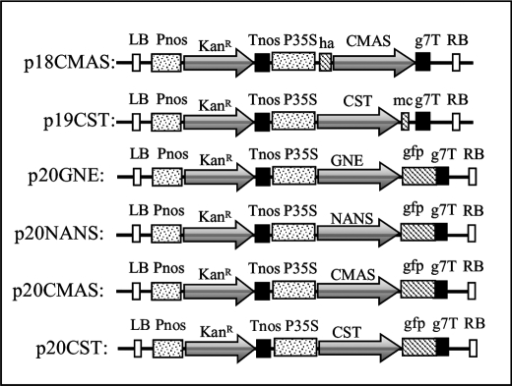 Schematic representation of the different plant expression cassettes of the binary vectors generated in this study. Pnos, nopaline synthase gene promoter; Tnos, nopaline synthase gene terminator; KanR, neomycin phosphotransferase II gene; P35S, cauliflower mosaic virus promoter; ha, hemagglutinin epitope tag; g7T, Agrobacterium gene 7 terminator; mc, c-Myc epitope tag; LB, left border; RB, right border.