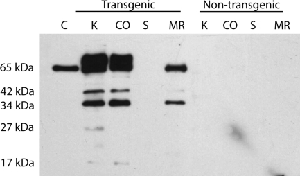 Western blot showing fragments of Cry1Ab protein in total protein extracts (60 μg) of transgenic and non-transgenic diet ingredients (K, kernels; CO, cobs; S, silage; MR, partial total mixed ration). Trypsin treated and HPLC purified Cry1Ab protein (100 pg) was included as a positive control (C)