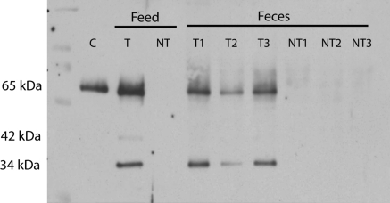 Western blot showing Cry1Ab protein fragments in total protein extracts (60 μg) of transgenic (T) and non-transgenic feed (NT) and respective transgenic (T1, T2, T3) and non-transgenic (NT1, NT2, NT3) ration fed feces of dairy cows. Trypsin treated and HPLC purified Cry1Ab protein (100 pg) was used as a positive control (C)