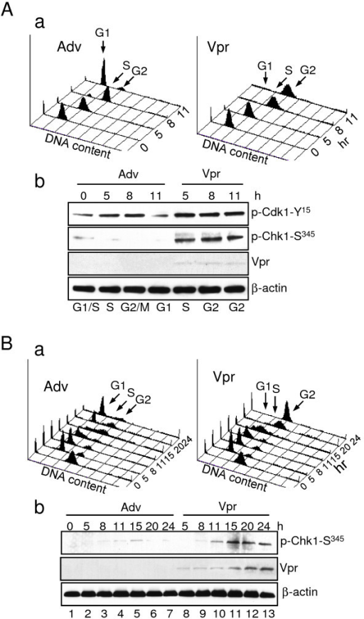Vpr induces cell cycle G2/M arrest through activation of Chk1 via Ser345 phosphorylation in S phase of the cell cycle. A. HeLa cells synchronized at the G1/S boundary by double thymine (DT) block were transduced with Adv control or Adv-Vpr (MOI 1.0) and released from the block at time 0. The cell cycle profiles measured by DNA content (a) were detected from time 0 to 11 hours after the DT release. The Cdk1-Tyr345 or Chk1-Ser345 phosphorylation status (b) were detected in the Vpr-positive or Vpr-negative cells collected at indicated time. B. HeLa cells, which were first synchronized in M phase by Nocodazole (100 ng/ml), were transduced with Adv or Adv-Vpr and detected the same way as shown in (A). Note that very weak Vpr was detected in (A-b) because Ad-Vpr was only transduced within 5 to 11 hours. The Vpr protein was clearly detected subsequently at about 15 hours after viral transduction (B-b).
