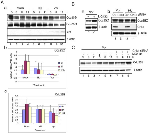 Vpr promotes proteasome-mediated protein degradation of Cdc25B and Cdc25C. (A) Synchronized G1/S HeLa cells treated with HU or transduced with Adv-Vpr were collected at indicated time, and then subjected to Western blot analysis using anti-Cdc25B or anti-Cdc25C antibody, respectively (a). β-actin was used as a loading control. The relative intensity of the Cdc25B (b) or Cdc25C (c) protein levels to β-actin were determined by densitometry. The results presented are the average of three independent experiments. (B) Synchronized HeLa cells were pre-treated with specific siRNA against Chk1 or treated with 50 μm MG132 at 0 hour and collected at the indicated time. The protein level of Cdc25B was detected by Western blot analysis. (C) Synchronized HeLa cells were treated with 50 μm MG132 at 0 hour and collected 11 hours after treatment. The protein level of Cdc25C was detected by Western blot analysis (a). HeLa cells were pre-treated with specific siRNA against Chk1, which were then synchronized at G1/S boundary by DT treatment. HU or Vpr treated cells were collected 11 hours after DT release. The protein level of Cdc25C was detected by Western blot analysis using indicated antibodies (b).