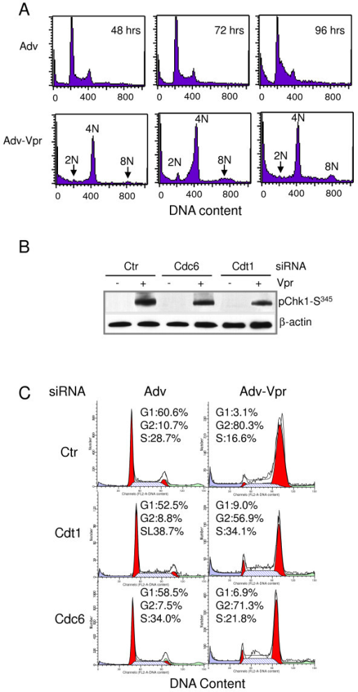 Possible roles of Cdt1 and Cdc6 in Vpr-induced Chk1-Ser345 phosphorylation and G2 arrest in CEM-SS cells. (A) Vpr promotes accumulation of DNA polyploidy as indicated by the presence of 8N DNA. Asynchronized CEM-SS cells were grown under the normal cell culture condition, and transduced with Adv viral control or Adv-Vpr. Cells were collected at indicated time point and DNA ploidy was measured by PI staining using flow cytometric analysis. (B) Asynchronized CEM-SS cells were pretreated with Cdt1, Cdc6 or control (Ctr) siRNA, and then transduced with Adv or Adv-Vpr 24 hours after addition of siRNAs. Cells were then harvested 48 hours post-transduction. The cell lysates were subjected to Western blot using anti-Chk1-Ser345 antibody. The knockdown efficiency of Cdc6 or Cdt1 siRNA was verified by using anti-Cdc6 or anti-Cdt1 antibody with β-actin as protein loading controls. (C). CEM-SS were treated the same way as described in (B). The cells were harvested 48 hours post-transduction and the cell lysates were then subjected to flow cytometric analysis.