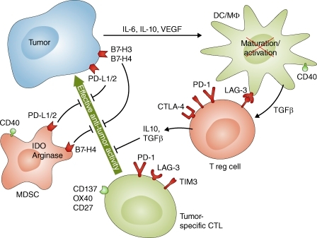 an introduction to the lymphocytes and their important role in producing antibodies and in cellular  Explain the role played by b and t cells in the adaptive immune system   introduction  there are two types of adaptive responses: the cell-mediated  immune  antibody: a protein produced by b-lymphocytes that binds to a specific  antigen  b cells are the major cell type involved in the humoral immune  response when a.