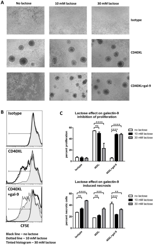 Galectin-9 exerts its proliferation inhibitory and cell death inducing effects on CD4loCD40+ T cells via the carbohydrate recognition domains of the protein.CD4loCD40+ T cells were sorted from 7–13 week old female NOD spleens and were CFSE labeled. Cells were either isotype treated (Isotype) or CD40 was stimulated (CD40XL) in the absence/presence of 7.5 µg/ml galectin-9 (gal-9) for 4 days. Lactose was added as a competitor for the CRD of galectin-9. (A) Cell cluster formation was observed. (B) Proliferation was measured by CFSE dilution. (C) Bar graphs representing proliferation and necrotic cell death. Asterisks in C denote significant differences determined by one-way Anova; ns – not significant; ** – P between 0.001 and 0.01; *** – P <0.001; **** – P<0.0001. Data represent experiments done on three individual mice of different ages.