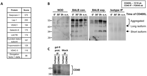 Galectin-9 interacts with CD40.CD4loCD40+ T cells were sorted from female NOD, control BALB/c (BALB con.), or agonistic CD40 antibody injected BALB/c (BALB exp.) spleens. Whole cell lysates were prepared. (A) CD40 was immunoprecipitated and resulting proteins were separated by SDS-PAGE. Protein bands were sequenced by LC-LC-MS. (B) Cells were CD40 stimulated (CD40XL) for 0, 30 minutes, 3 hours or overnight (0′, 30′, 3h, o.n.) then lysates were prepared and CD40 immunoprecipitated. Co-imunoprecipitation of galectin-9 was measured in western blots. Data represents three separate experiments on mice ranging from 8 – 10 weeks old. (C) Cells were isotype or CD40 stimulated (CD40XL) overnight then lysates were prepared. Galectin-9 protein conjugated directly to magnetic beads was used in immunoprecipitations. Mock treated beads were used as a control. CD40 was measured in the immunoprecipitated material by western blot. Data represents three separate mice of two different ages (8 and 10 weeks old).