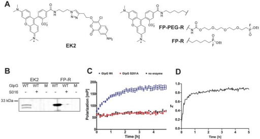Development of a rhomboid FluoPol ABPP assay.(A) Chemical structures of the ABPs EK2 and FP-R/FP-PEG-R. (B) 45 nM wild-type (WT) GlpG or the inactive S201A mutant (M) were preincubated with 100 µM inhibitor S016 or 1% DMSO vehicle control (30 min) and subsequently incubated with 1 µM of probe EK2 or FP-R (30 min). (C) Fluorescent polarization measured over time using 75 nM FP-R and 500 nM GlpG WT, 500 nM S201A or plain buffer. The mean of quadruplicate measurements is depicted with standard error. (D) The development of the Z' value over time during a 5 h run of rhomboid FluoPol ABPP.