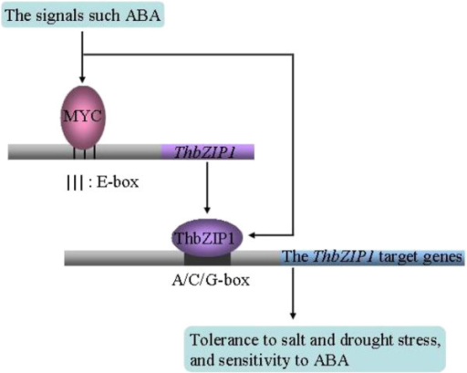 Model of the regulatory network of ThbZIP1 involved in abiotic stress responses. Stress signals such as ABA are produced in plants when exposed to abiotic stressors, and the expression of MYC is induced by stress signals; then the MYC proteins bind to the E-box motif in the promoter of ThbZIP1 to activate the expression of ThbZIP1. The ThbZIP1 in turn binds to the A-, C- or G-box in the promoter of the genes to alter their expression, resulting that abiotic stress tolerances are improved in plants.