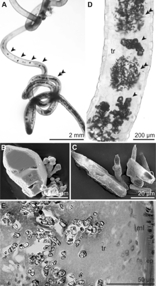 Crystals deposited in the S. contortum trophosome. A. Whole specimen within the tube viewed under a dissecting microscope containing orthorhombic (arrowhead) and needle-shaped crystals (double arrowhead). B–C. SEM of orthorhombic (B) and needle-shaped crystals (C). D. LM of whole mount of the posterior body region showing regions of densely packed needle-shaped crystals (double arrowhead) interspersed by orthorhombic ones (arrowhead). E. LM of high-pressure frozen and freeze-substituted sample of the posterior trophosome. Crystals are limited to the trophosomal tissue located in the body cavity of the trunk. Ep, epidermis; ml, muscle layer; tr, trophosome.