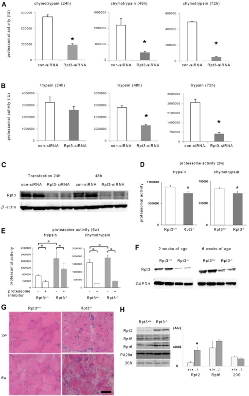 The effect of Rpt3 knockdown and Rpt3 deletion on proteasomal activity in vitro and in vivo. The chymotrypsin-like (A) and trypsin-like (B) activities of control (con-siRNA)- and Rpt3-siRNA-transfected C2C12 cells were assessed. Proteasomal activity was significantly suppressed in Rpt3-siRNA-transfected cells. Proteasomal activity at 24, 48 and 72 h after transfection is shown. IU, international units. (C) Rpt3 protein expression was suppressed in Rpt3-siRNA-transfected C2C12 cells. (D) Proteasomal activity (trypsin-like and chymotrypsin-like activity) in the tibialis anterior muscles of 2-week-old Rpt3−/− and Rpt3+/+ mice (n = 5). (E) Proteasomal activity (trypsin-like and chymotrypsin-like activity) in the tibialis anterior muscles of 6-week-old Rpt3−/− and Rpt3+/+ mice (n = 6). Trypsin-like and chymotrypsin-like activity were increased in Rpt3−/− mice compared with Rpt3+/+ mice. The highly specific proteasomal inhibitor AdaAhx3L3VS (30 µM) significantly suppressed chymotrypsin-like activity by >70%, and trypsin-like activity by >30% from tibialis anterior muscle homogenate of both 6-week-old Rpt3−/− and Rpt3+/+ mice. (F) Immunoblotting of Rpt3 protein using homogenates of tibialis anterior muscles from 2- and 6-week-old mice. (G) HE staining of tibialis anterior muscles from 2- and 6-week-old mice. Scale bar: 50 µm. (H) Changes in the components of the proteasomal complex of the tibialis anterior muscles. Rpt2 is significantly increased in Rpt3−/− mice compared with its expression in Rpt3+/+ mice. White bars, Rpt3+/+; gray bars, Rpt3−/−. AU, arbitrary units. All quantitative data show the mean+s.e.m.; *P<0.05 (Student's t-test).