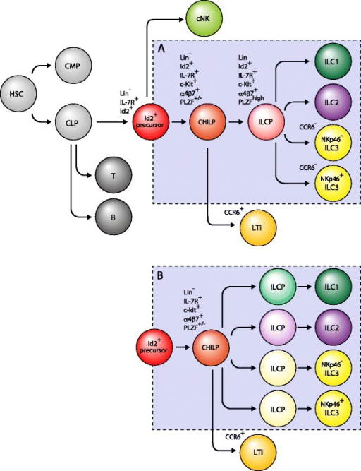 Developmental pathways of ILCs. All ILCs require Id2 signaling for their development. cNK cells branch out earlier than other helper-like ILCs and LTi cells branch out from CHILP. Cell fate determination processes of ILC, ILC2s, and ILC3s from PLZF+ ILCP are still unknown, but there are two possibilities: a determined after PLZF+ ILCP or b cell fate determinations are already established before or at the PLZF+ ILCP stage