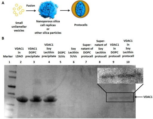 (A) Fusion of small unilamellar vesicles on nanoporous silica cell replicas and other silica particles forms protocells; (B) The sodium dodecyl sulfate polyacrylamide gel electrophoresis (SDS-PAGE) showed the VDAC1 protein (arrow) from different samples. VDAC1 successfully incorporated into the DOPC or Soy Lecithin-coated protocells (Lane 9 and 10) while the supernatant of the centrifuged protocells contained no VDAC1 (Lane 7 and 8). Most VDAC1 proteins precipitated when detergent Lauryldimethylamine-oxide (LDAO) was removed from the lipid-detergent-protein mixture (Lane 3 and 4). Original SUVs before protein incorporation had no VDAC1 (Lane 5 and 6).