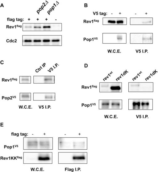 Pop1 and Pop2 were responsible for the stability of Rev1.A,pop1 and pop2 deletion mutants stabilized Rev1 protein. wt, pop1Δ, and pop2Δ strains harboring flag-tagged rev1 and an untagged rev1 wt strain were grown, and whole cell extracts were prepared by the boiling method. Protein expression levels were compared by western blotting. The upper panel shows the amount of Rev1 in rev1flag, rev1flag pop2Δ, rev1flag pop1Δ and untagged rev1 strains. The lower panel shows Cdc2 as a loading control. B, Rev1 was coprecipitated with Pop1. rev1flag pop1V5 and rev1flag strains were grown, and whole cell extracts were prepared by the LiNi method. Immunoprecipitation was performed using anti-V5 antibodies. The left panels show Rev1 and Pop1 input. The right panels show Rev1 and Pop1 in anti-V5-immunoprecipitated fractions. C, Rev1 was co-precipitated with Pop2. The rev1flag pop2V5 strain was grown, and whole cell extracts were prepared. Immunoprecipitation was performed using rabbit normal IgG or anti-V5 antibodies. The left panels show Rev1 and Pop2 input. The right panels show Rev1 and Pop2 in rabbit normal IgG- or anti-V5-immunoprecipitated fractions. D, The Rev1dK mutant was not coprecipitated with Pop1. rev1flag pop1V5 and rev1dKflag pop1V5 strains were grown, and whole cell extracts were prepared. Immunoprecipitation was performed using anti-V5 antibodies. The left panels show Rev1 and Pop1 input. The right panel shows Rev1 and Pop1 in anti-V5-immunoprecipitated fractions. E, Rev1KK (Rev1 761–818) associated with Pop1. Amino acids 761–818 of Rev1, which is the region deleted in Rev1dKK, were cloned into a pCAM1-flag expression vector. The pop1V5 strain with the pCAM1-rev1KKflag expression vector was grown at 30°C and whole cell extracts were prepared. Immunoprecipitation was performed using rabbit normal IgG or anti-V5 antibodies. The left panels show Rev1 and Pop1 input. The right panels show Rev1KK and Pop1 in rabbit normal IgG- or anti-V5-immunoprecipitated fractions.