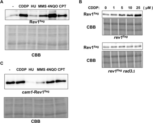 The protein expression of Rev1 was upregulated in response to DNA damage.A, Rev1 protein expression after mutagen treatment. At the logarithmic growth phase, wt cells harboring flag-tagged rev1 were treated with no drug (-), 50 μM cisplatin (CDDP), 10 mM hydroxyurea (HU), 0.008% MMS, 500 nM 4NQO, or 40 μM camptothecin (CPT). After a 4-h incubation, cells were harvested. Whole cell extracts were prepared by the boiling method, and protein levels were examined by western blotting. The upper panel represents flag-tagged Rev1, and the lower panel shows CBB staining of the membrane. B, The upregulation of Rev1 was dependent on Rad3. At the logarithmic growth phase, rev1flag and rev1flag rad3Δ strains were treated with 0, 1, 5, 10, or 25 μM cisplatin for 3 h. Cells were then harvested, and whole cell extracts were prepared by the boiling method. Extracts were then subjected to western blotting. The upper panels show Rev1 and CBB staining of the rev1flag strain, and the lower panels show those of the rev1flag rad3Δ strain. C, The promoter region was important for the upregulation of Rev1 after DNA damage. At the logarithmic growth phase, cam1-rev1 cells were treated with no drug (-), 50 μM cisplatin (CDDP), 10 mM hydroxyurea (HU), 0.008% MMS, 500 nM 4NQO, or 40 μM camptothecin (CPT). After a 4-h incubation, cells were harvested, and whole cell extracts were prepared by the boiling method. Protein expression was then examined by western blotting. The upper panel shows Rev1, and the lower panel shows CBB staining.