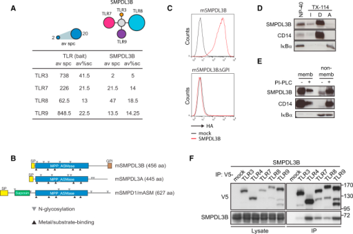Identification of SMPDL3B as GPI-Anchored TLR Interactor(A) Average spectral counts (av spc) and average % sequence coverage (av%sc) of SMPDL3B detected by mass spectrometry in endosomal TLR tandem affinity purifications.(B) Domain organization of SMPDL3B, SMPDL3A, and SMPD1/ASM. Gray triangles indicate predicted or validated N-linked glycosylation sites; black triangles indicate conserved motifs in metal coordination/substrate binding.(C) HA-specific FACS analysis of HEK293T cells stably expressing murine SMPDL3B or a deletion mutant lacking the C-terminal GPI signal.(D) Cells were lysed using 1% NP-40 or subjected to TX-114 phase separation. Proteins were analyzed by western blot for SMPDL3B, CD14, and IκBα. I, detergent-insoluble proteins; D, detergent phase, amphiphilic integral membrane proteins; A, aqueous phase, hydrophilic proteins.(E) Cells were lysed with TX-114; lysates were divided in two and treated or not with PI-PLC. Proteins were subjected to phase separation, and fractions were analyzed by western blot for SMPDL3B, CD14, and IκBα.(F) HEK293T cells were transfected with SMPDL3B and V5-tagged TLRs as indicated. Immunoprecipitates and extracts were analyzed by western blot using SMPDL3B- and V5-specific antibodies.(C–F) Data are representative of at least two independent experiments. See also Figure S1.