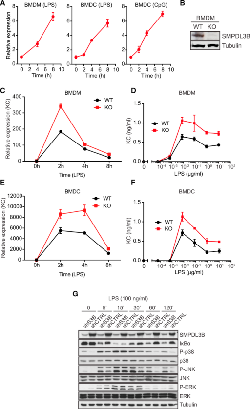 SMPDL3B Is a Negative Regulator of TLR Signaling(A) BMDMs or BMDCs were stimulated with 100 ng/ml LPS or 1 μM CpG-DNA for the indicated time and relative expression of Smpdl3b was measured by RT-PCR.(B) Expression of SMPDL3B and tubulin in wild-type and Smpdl3b-deficient BMDMs was analyzed by western blot.(C and E) BMDMs or BMDCs from wild-type (WT) or Smpdl3b-deficient (KO) mice were stimulated with 100 ng/ml LPS for the indicated time, and relative expression of KC was measured by RT-PCR.(D and F) BMDMs or BMDCs from wild-type (WT) or Smpdl3b-deficient (KO) mice were stimulated with LPS for 8 hr, and supernatants were analyzed for KC by ELISA.(G) The phosphorylation status of p38, JNK, and ERK and protein levels of IκBα in the lysates of control (shCTRL) and SMPDL3B-depleted RAW264.7 cells (shS3B) upon stimulation with LPS were analyzed by western blot.(A and C–F) Data show mean ± SD of technical triplicates and are representative of at least two independent experiments. (G) Data are representative of two independent experiments. See also Figure S2.