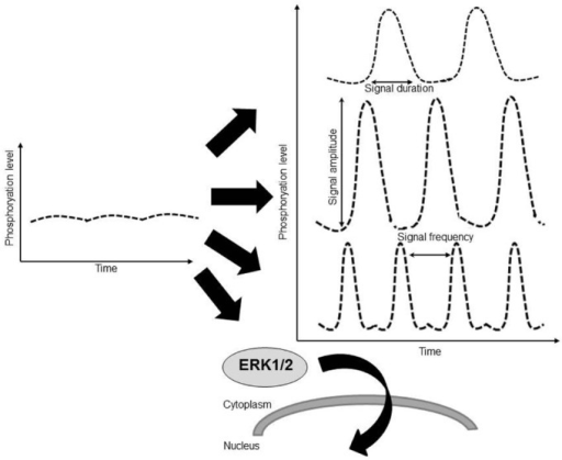 The quantitative information about a constant extracellular stimulus like pressure overload may be carried by the duration of ERK activation, by amplitude of ERK activation (phosphorylation level), by the frequency with which the activity of ERK shifts between active and inactive states, by the translocation of ERK to a subcellular location such as the nucleus, or through a combination of these factors.