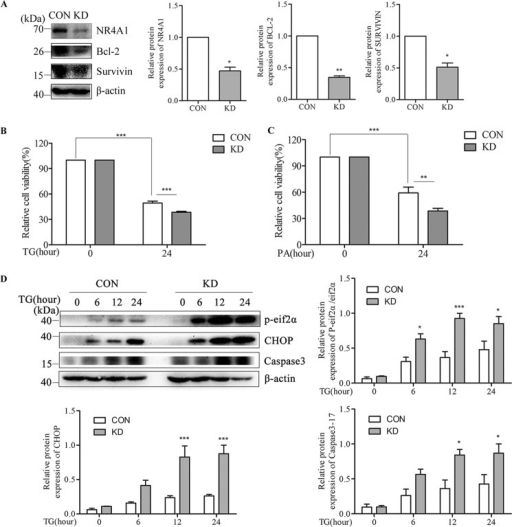 The effects of NR4A1 knockdown on the expression of Survivin and Bcl-2 and on ER stress-induced apoptosis in MIN6 cells. Analyses of MIN6 cell stably knockdown NR4A1 clone (designated as KD) and normal control clone (designated as CON). A, protein expression of NR4A1, Bcl-2, and Survivin in CON and KD cells. B and C, the cell viability of CON and KD cells treated with TG (B) or PA (C) for 24 h was analyzed with an MTT assay. D, changes in protein expression of NR4A1, phosphorylated eif2α (P-eif2α), CHOP, and Caspase3 (17 kDa) in CON and KD cells treated with 0.5 μm TG. Densitometric analyses of the Western blots are shown as histograms or curves. The data show the means of three independent experiments. *, p < 0.05; **, p < 0.01; ***, p < 0.001 versus CON.