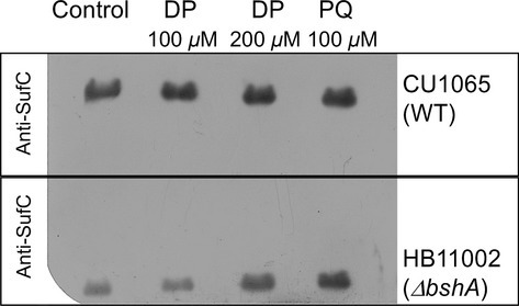Western blot analysis of Fe–S biosynthetic enzyme SufC after challenge with dipyridyl (DP) and paraquat (PQ). Cultures were grown to OD600 of 0.8–1.0 and challenged with stressors for 30 min. Cells were harvested, lysed. Clear extracts (50 μg of protein) were subjected to SDS-PAGE and further analyzed by western blot. All western blot assays were performed in triplicate of three independent growth experiments. A representative image from western blot containing two separate gels of wild type and ΔbshA exposed in the same film is shown.