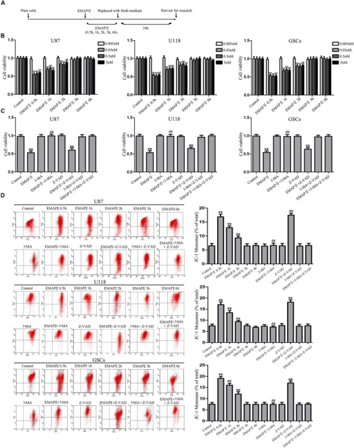Effect of endothelial-monocyte activating polypeptide II (EMAP II) on human GBM cells and GSCs. (A) Timeline of the research with EMAP II. (B) Effect of EMAP II on the cell viability of U87, U118, and GSCs after treatment with 0.005 nM, 0.05 nM, 0.5 nM, and 5 nM EMAP II for 0.5, 1, 2, 3, and 6 h. (C) Effects of EMAP II, 3-MA and Z-VAD on the cell viability of U87, U118 and GSCs after treatment with 0.05 nM EMAP-II for 0.5 h. (D) Effects of EMAP II, 3-MA, and Z-VAD on MMP of U87, U118, and GSCs by JC-1 staining for flow cytometry. Values represented the means ± SD (n = 5, each). ∗∗P < 0.01 vs. control group, ##P < 0.01 vs. EMAP II group.