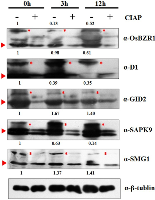 Western-blot analysis of five selected proteins to verify the MS identified phosphorylation pattern at 0, 3, and 12 h. Red triangle indicates the target band in original size; Red asterisk indicates the phosphorylated target protein band. Anti-tubulin was used as an internal control for normalization. The values above the phosphorylated bands represent the normalized, relative band intensities by setting 0 h into 1.