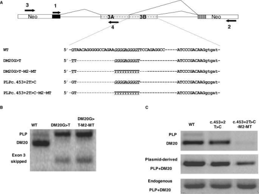 M2 is an enhancer of DM20 5′ splice site selection. (A) PLP-neo construct and primers used for PCR amplification. Partial sequences of the natural exon 3B (WT) and mutated constructs are shown, underlined are mutations at the DM20 and PLP 5′ splice site and the M2-MT. (B) PLP and DM20 PCR products (35 PCR cycles) from WT and DM20 G>T and DM20 G>T-M2-MT amplified with primers 1 and 2 in RNA extracted from transfected Oli-neu cells. (C) PLP and DM20 PCR products (35 PCR cycles) derived from WT, c.453+2T>C and c.453T>C-M2-MT amplified with primers 1 and 2 in RNA extracted from Oli-neu cells. Plasmid-derived PLP+DM20 PCR product was amplified with primers 3 and 4 and represents the total plasmid-derived PLP/DM20 transcript. Endogenous PLP+DM20 PCR product amplified with primers 1 and 4 is the control for RNA loading.