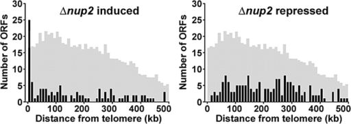 Genes exhibiting aberrant expression in cells lacking Nup2p map to distinct chromosome regions. For the top 5% of significant Δnup2 induced or repressed ORFs, the distance from each ORF to the nearest telomere was determined. These distances were grouped into 10-kb bins and plotted as a function of telomeric distance. These plots reveal an enrichment of Δnup2-induced ORFs at subtelomeric regions, as 25% of induced ORFs reside within 20 kb of a chromosome end. Only 1% of significantly repressed ORFs were within this distance. The shaded histograms indicate the distribution of telomeric distances for all ORFs plotted at 1/8 scale on the y-axis. Statistical comparison of the Δnup2-induced and repressed distributions to the profile for all ORFs using a two-sample Kolmogorov-Smirnov test confirms that the induced profile is unique (P = 0.0000386), but the repressed profile is not (P = 0.287).