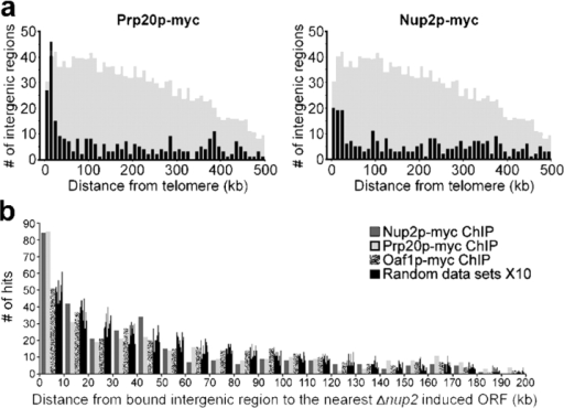 DNA regions bound by Prp20p and Nup2p enrich near telomeres and lie in close proximity to ORFs induced in cells lacking Nup2p. (a) Histograms of minimal telomeric distance for the top 5% of significantly enriched intergenic regions bound by Prp20p and Nup2p reveal a telomeric enrichment similar to that observed for ORFs induced in cells lacking Nup2p (see Fig. 3). The shaded histograms represent the distribution of all intergenic regions shown at 1/4 scale on the y-axis. The Prp20p and Nup2p profiles are significantly distinct from the distribution of all intergenic regions (P < 0.000001 and P = 0.000367, respectively). In contrast, the profile of the transcription factor Oaf1p displayed no significant enrichment relative to all intergenic regions (P = 0.368; not depicted). (b) Chromosomal proximity of transcriptionally induced ORFs in Δnup2 cells and ChIP-CHIP enriched intergenic regions. The distance between each enriched intergenic region and the nearest Δnup2-induced ORF was determined for Nup2p, Prp20p, Oaf1p, and 10 randomized datasets. Intergenic regions bound by Nup2p and Prp20p are found much closer to ORFs induced in cells lacking Nup2p, relative to the Oaf1p or randomized datasets, as evidenced by the high number of Nup2p and Prp20p enriched intergenic regions found within 10 kb of Δnup2 ORFs. The Kolmogorov-Smirnov test reveals significant differences between the Oaf1p profile and those obtained with Prp20p and Nup2p (P = 0.0282 and P = 0.00102, respectively).