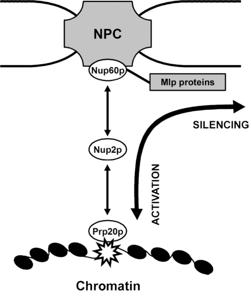 Dynamic model of NPC-mediated BA. Boundaries (star), marked by Prp20p, are proposed to be mobile but spatially restricted within the nucleus due to their transient Nup2p-dependent association with NPCs. The complexation of DNA with the NPC represents an unstable reaction intermediate from which the DNA can either enter the perinuclear silencing region through Nup60p or detach from the NPC, free to enter the nuclear interior.