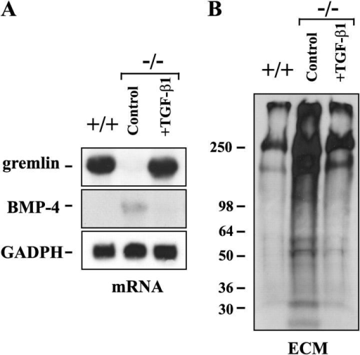 TGF-β1 stimulation restores BMP-4 and gremlin expression to wt levels. Lung −/− fibroblasts were cultured in the presence of 0.5 ng/ml TGF-β1 for 2 wk (+TGF-β1). (A) Total RNA was isolated from cultured lung fibroblasts, and mRNA expression levels of gremlin and BMP-4 were analyzed by Northern blotting. mRNA expression of a constant gene, GADPH, was used to control loading. (B) Lung fibroblasts were cultured in the presence of labeled amino acids for 2 d followed by isolation of the ECM. Polypeptides of the ECM preparations were separated by SDS-PAGE under reducing conditions and visualized by fluorography. The migration of the molecular mass markers (kD) is indicated on the left.