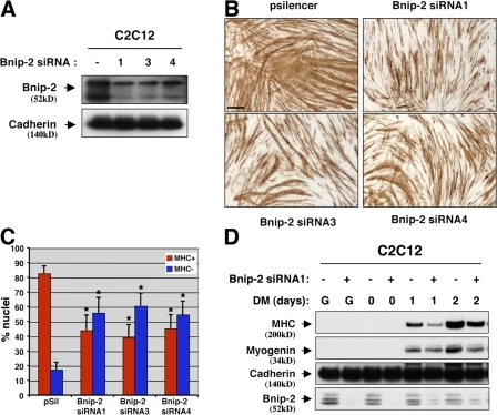 RNAi-mediated depletion of Bnip-2 reduces myogenic differentiation. (A) Lysates of C2C12 cells stably transfected with pSilencer containing one of three independent Bnip-2 siRNA sequences (designated 1, 3, and 4) or pSilencer containing an irrelevant sequence (−) were Western blotted with Bnip-2 or, as a control, pan-cadherin antibodies. (B) Photomicrographs of C2C12 cells that express Bnip-2 siRNA sequences or an irrelevant sequence (pSilencer) as indicated, cultured in DM, fixed, and stained with an antibody to MHC. Bar, 0.5 mm. (C) Quantification of myotube formation. Values represent means of triplicate determinations ±1 SD. The experiment was repeated three times with similar results. Asterisks indicate difference from pSilencer control, P < 0.01. A level of myotube formation by control cells (∼80% nuclei in MHC+ cells) was selected so as to permit visualization of diminished differentiation by Bnip-2 siRNA. (D) Western blot analysis of C2C12 cells that express Bnip-2 siRNA sequences (+) or an irrelevant sequence (−) cultured in GM (G) or in DM for the indicated times.