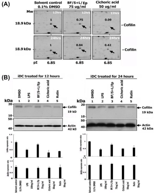 Confirmation of the 2-D gel proteomic results on down-regulation of cofilin protein expression with Western blot analysis. (A) Differential expression of cofilin in human iDCs treated with [BF/S+L/Ep] (75 μg/ml), cichoric acid (50 μg/ml) or vehicle control, at 12 and 24 h treatment, as revealed by 2-D gel electrophoresis. (B) Western blot analysis of expression of cofilin in human iDCs. Other experimental details are the same as described in Figure 7. Similar trends were observed in three independent experiments.