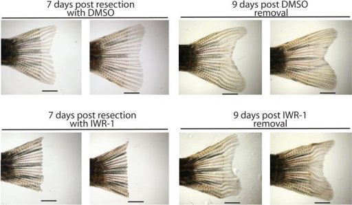 The effects of IWR-1 on caudal fin regeneration are reversibleAdult zebrafish with resected caudal fins were placed in water containing DMSO carrier or IWR-1 (10μM) for 7 days with replenishment of breeding water and compounds every day. Consistent with inhibition of Wnt/β-catenin pathway response by IWR-1, fish treated with IWR-1 but not DMSO failed to regenerate fin tissue. Nine days post-removal of chemicals, fish that were treated with IWR-1 display tissue regrowth suggesting the pluripotent cells required for regeneration are able to resume normal function. Numbers designate specific animals. Four fish were analyzed in each group. Scale bar: 2.5mm.
