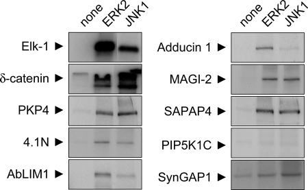 "In vitro phosphorylation of candidate substrates by mitogen-activated protein kinases. Selected candidate proteins (GFP-δ-catenin, GFP-PKP4, FLAG-4.1N, FLAG-AbLIM1, FLAG-MAGI-2, FLAG-SAPAP4, FLAG-PIP5K1C, and FLAG-SynGAP1) were expressed in HEK293 cells, immunoprecipitated with epitope tag antibodies, and incubated with γ-[P32]ATP and different recombinant active MAPKs as indicated. Phosphorylation was visualized by autoradiography. FLAG-tagged transcription factor Elk-1 is used as positive control (see ""Results"")."