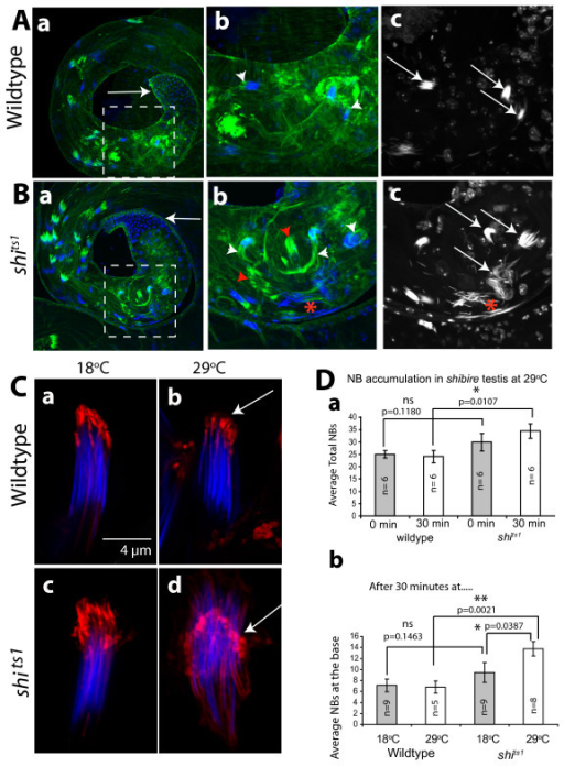 Actin caps and NBs are disrupted in hemizygous shibire mutant testes after heat pulse. (A), (B) Wild type (A) and hemizygous shi ts1 mutant (B) testes labeled with FITC:phalloidin (green) and 4',6-diamidino-2-phenylindole (DAPI) (blue) after 30 minutes at 29°C. Regions populated by the coiled-up sperm bundles are marked by the dotted lines. Note that the base (arrows) is slightly enlarged in shi ts1 hemizygous testis. Figures (b), (c) of (A) as well as (B) are enlarged views of the regions marked in (a) of (A), and (a) of (B), respectively. The figures in the (c) of A and (B) indicate the DAPI labeled NBs. The white arrowheads indicate actin caps and arrows indicate the NBs in respective figures. The red star indicates a highly disrupted NB and red arrowhead indicates abnormal actin caps in figures (b) and (c) of (B). (C) Isolated cysts stained with RITC: phalloidin (red) and DAPI (blue) from (a, b) wild type control and (c, d) the shi ts1 hemizygous mutant testes before and after 30 minutes at 29°C. Arrows indicate actin caps in figures (c) and (d). (D) Histograms indicate average NBs in a testis in wild type and shi ts1 adults after 30 minutes of incubation at 18°C (grey filled bars) and at 29°C (open bars), respectively. The error bars indicate ± S. E. M. The number of specimen (n) for each bar and the pair wise test of significance (p values) are indicated on each figure. The non-significant (ns), significant (*) and very significant (**) differences are indicated on each set of bars linked by the horizontal lines.
