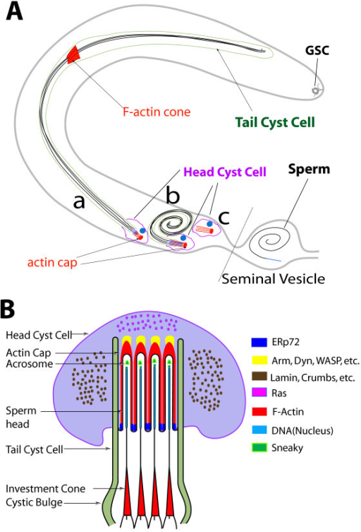 Anatomical organization and molecular compositions of actin cap structures around the sperm head assembly inside head cyst cell. (A) Summary of the observations and indication of the positions of (a) the individualization stage, (b) coiled-up stage and (c) empty cysts inside a testis (gray out line). The positions of germ line stem cell (GSC) at the apex and the head and tail cyst cells are marked with distinct colors as indicated in the figure. The axoneme of maturing spermatids (black), the cell nuclei (blue) and major F-actin based structures (red) are highlighted to illustrate the basic observation of this study. The rostral ends of the sperm nuclei moved very slowly towards seminal vesicle during individualization until the mature sperm penetrate the head cyst cell to enter the seminal vesicle. (B) Cross-section view of the relative organizations of actin caps inside head cyst cell and sperm heads during individualization. It is partly adapted from a previous description [1] and updated to summarize the data presented in this report. Only four spermatids are drawn for simplicity in illustrating the organization. The compositions of the different regions are indicated by color coding as shown in the adjacent panel.