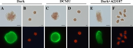 Effects of light illumination on the early development of monospores. The organization of F-actin (A, C, E) and renascent cell wall synthesis (B, D, F) in monospores incubated in darkness (A, B), with 100 μM DCMU (C, D) and with 1 μM calcium ionophore A23187 in darkness (E, F) for 3 h are indicated. Upper and lower photographs in each panel show bright-field and fluorescent images, respectively. Scale bars=5 μm.