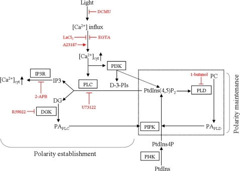 Proposed model of the relationship between the PI signalling system and formation of cell polarity in monospores. PtdIns(4)P produced by PI4K from PtdIns is phosphorylated by PIPK to generate PtdIns(4,5)P2. PtdIns(4,5)P2 can be hydrolysed by PLC to generate the second messengers IP3 and DG. IP3 then binds IP3R, which results in the release of Ca2+ from the cytoplasm. The inhibition of PLC, DGK, and IP3R in addition to Ca2+ influx prevents the establishment of cell polarity. The catalysis of PLC and PI3K depends on Ca2+ influx, which is triggered by light irradiation. DG is converted to PA by DGK. PA is also produced from PC by PLD. PA activates PIPK to produce PtdIns(4,5)P2 as a precursor of the substrate of PLC and PtdIns(4,5)P2 activates PLD which hydrolyses PC to produce PA. According to the function of PLD, the positive regulatory circuit indicated by the box drawn with a dashed line is proposed for the maintenance of cell polarity. Pharmacological reagents and their actions are indicated by red characters and bars.