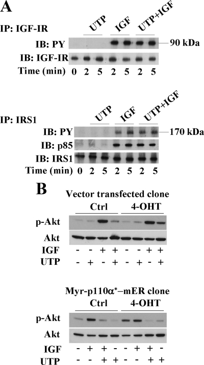 UTP inhibits the PI3K signaling pathway downstream of p110α-PI3K membrane recruitment. (A) HaCaT keratinocytes were stimulated for 2- and 5-min with UTP (100 μM), IGF-I (50 ng/ml), or both. Immunoprecipitations were performed on cell lysates with an anti-IGF-I receptor (IGF-IR) antibody (top) or anti-IRS1 antibody (bottom). Immunoprecipitates were analyzed by Western blot using anti-phospho-tyrosine antibody (PY) and anti-p85-PI3K antibody (p85), as indicated. Anti-IRS1 (IRS1) and anti-IGF-IR (IGF-IR) antibodies were used as controls. (B) Myr-p110α*-mER–expressing HaCaT clone and vector-transfected clone were treated with either 4-hydroxytamoxifen (4-OHT) or solvent (Ctrl) and then stimulated with IGF-I (50 ng/ml) (IGF) and/or UTP (100 μM; UTP) for 5 min. Cell lysates were analyzed by Western blot using anti-phospho-Akt (p-Akt) and anti-Akt antibody (Akt) as loading control. Data shown are representative of three independent experiments.