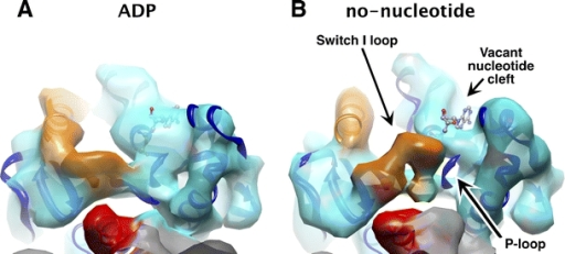 Illustration of 8-Å resolution ADP and no-nucleotide density maps for microtubule-attached kinesin-1, showing a significant conformational change of the switch I loop (gold) and the P-loop (circled in blue) between these two nucleotide states: in the no-nucleotide state, the switch I loop intrudes into the nucleotide cleft accompanied by loss of ADP density and also loss of P-loop density. ADP is rendered as a ball-and-stick diagram