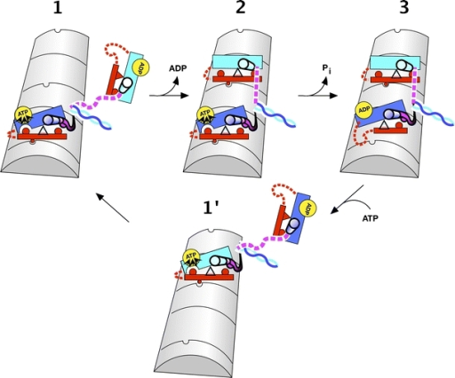Cartoon schematic indicating how the seesaw mechanism leads to gating between heads of dimeric kinesin. See text for detailed description