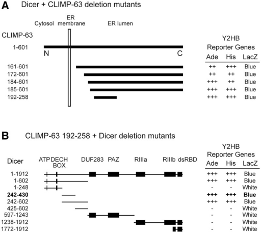 Dicer interacts with a luminal portion of CLIMP-63 via its N-terminal protein interaction domain. (A) Identification of various Dicer-interacting clones encoding for CLIMP-63 in a yeast two-hybrid screen of a human lung cDNA library using human Dicer as bait. (B) Delineation of the domain of Dicer involved in mediating the Dicer–CLIMP-63 interaction. Yeast transformants were tested for activation of the adenine (Ade), histidine (His) and LacZ reporter genes.