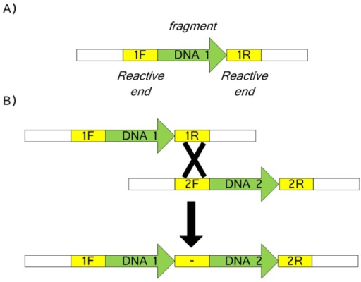 Assembly units and linear assembly.1F, 1R, 2F and 2R are the reactive ends. (A) The conformation of a typical fragment for assembly; (B) A typical assembly reaction between two linear fragments DNA1 and DNA2. The designation '-' represents the scar left after reaction of 1R and 2F.