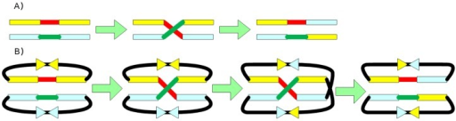 The need for topology breakers for circular plasmids.Exchange is shown occurring in the recombination of two linear fragments (shown in red and green) (A). Exchange is also shown for two circular plasmids, which requires an additional recombination (B). Topology breaker sites are shown as triangles.