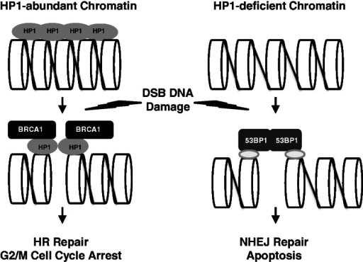 The roles of HP1 for BRCA1 function and the choice between HR and NHEJ repair. HP1 is a chromatin-associated protein, but the distribution of HP1 on chromatin is not even. Irradiation partially removes HP1 from chromatin, but the remaining HP1 molecules have active roles in recruiting BRCA1 to the damaged DNA sites. HP1 facilitates BRCA1 recruitment to chromatin after DNA damage, thereby activating G2/M cell cycle arrest and error-free HR repair. However, if the chromatin is HP1- or BRCA1-deficient, 53BP1 should be recruited resulting in error-prone NHEJ repair of the DNA damage. The loss of both the G2/M checkpoint control and HR repair pathway may increase the likelihood of apoptosis.