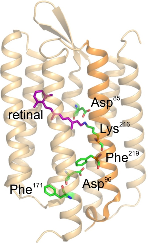 3D structure of BR.Cartoon representation of the 3D structure of bacteriorhodopsin according to the coordinates in PDB structure entry 1C3W by Luecke et al. (1999) prepared with PyMol 1.0 software. The retinal chromophore (magenta) is covalently linked via a Schiff base to Lys-216 in helix G (orange), which - together with the primary proton acceptor (Asp-85) and proton donor group (Asp-96) - is depicted in ball-and-chain representation (oxygen atoms: red, carbon atoms: green, nitrogen atoms: blue). Also shown are Phe-171 and Phe-219, which, together with Asp-96, were mutated herein.