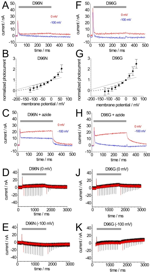 Photocurrents of mutants BR-D96N and BR-D96G.Photocurrents of BR-D96N (A) and BR-D96G (F) induced by illumination with green light (grey bar) at 0 mV (red) and −100 mV (blue). (B,G) Current-voltage plots of normalized stationary photocurrents of BR-D96N (B) and BR-D96G (G) evoked by continuous green light. For each cell, the stationary current amplitude at 0 mV was used for normalization. The dashed lines connecting the data points are drawn to guide the eye; for comparison, the corresponding WT curve from Fig. 2B is included as dotted line. (C,H) Photocurrents of BR-D96N (C, same cell as in panel A) and BR-D96G (H, same cell as in panel F) after addition of 50 mM azide. (D,E,J,K) Green light-induced stationary and blue laser flash-induced transient currents of BR-D96N at 0 mV (D) and −100 mV (E), and of BR-D96G at 0 mV (J) and −100 mV (K). Green light illumination is indicated by grey bars. The shown signals are superpositions of 12 recordings according to the illumination protocol from Fig. 2C. In each sweep, the first blue flash was given at Δt = 100 ms after start and the second at Δt = 100 ms after the end of illumination with green light. From sweep to sweep, Δt increased by 100 ms up to 1200 ms.