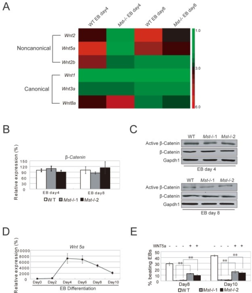ES cell to cardiac progenitor cell differentiation is disturbed by Mst1/Mst2 depletion.(A) Heatmap of the expression of non-canonical Wnt signaling ligands (Wnt2, Wnt2b and Wnt5a) and canonical Wnt ligands (Wnt1, Wnt3a, Wnt8a and Wnt11) in day 4 and day 8 wild type EBs and Mst-/- EBs. (B) Relative mRNA levels of β-catenin in wild type and Mst-/- EBs at day 4 and day 8 during EB formation. Actin was used as an internal control. The data are shown as the mean ± S.D (n=3). Statistically significant differences are indicated (*, P<0.05; **, P<0.01; ***, P<0.001). (C) Immunoblotting analysis with antibodies against Active β-catenin and total β-catenin to check its expression in day 4 and day 8 wild type EBs and Mst-/- EBs. Gapdh1 was analyzed as an internal control. (D) Relative mRNA levels of Wnt5a during EB formation from day0 to day10. Actin was used as an internal control. The data are shown as the mean ± S.D (n=3). Statistically significant differences are indicated (*, P<0.05; **, P<0.01; ***, P<0.001). (E) Recombinant Wnt5 were supplemented to the Mst-/-EB culture from day 2 and day 10. Wild type EBs and Mst-/- EBs were grown in non-Wnt5a supplemented medium as controls. The percentage of beating EBs was profiled on day 8 and day 10 after initiating EBs culture. The data are shown as the mean ± S.D (n=3). Statistically significant differences are indicated (*, P<0.05; **, P<0.01; ***, P<0.001).