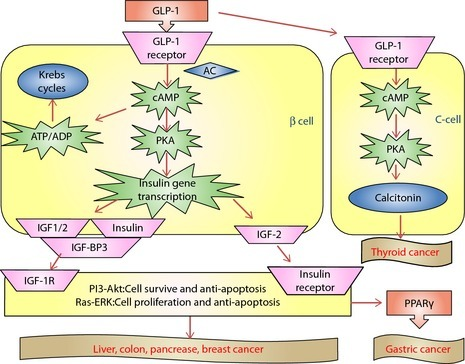 Glucogen‐like peptide‐1 and cancer. Mechanism of GLP‐1‐potentiated insulin secretion in β‐cells and a possible cancer pathway. AC, adenylatecyclase; ADP, adenosine diphosphate; ATP, adenosine triphosphate; IGF‐BP3, insulin‐like growth factor binding‐protein 3; cAMP, cyclic adenosine monophosphate; IGF, insulin‐like growth factor; PI3‐Akt; phosphatidyl‐inositol 3‐kinase‐Protein Kinase B; PKA, protein kinase A; PPARγ, peroxisome proliferator‐activated receptor‐γ; Ras‐ERK, renin–angiotensin system–extracellular regulated protein kinases.