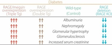 Phenotypes of diabetic nephropathy in receptor for advanced glycation end‐products (RAGE) gene‐manipulated mice. KO, knockout mice; Tg, transgenic mice.